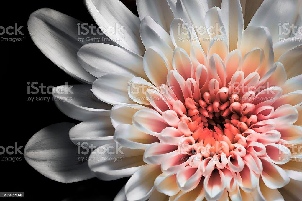 White and pink dahlia stock photo