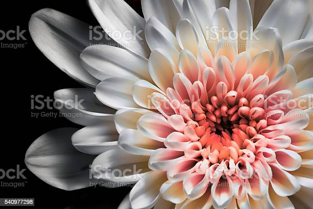 Photo of White and pink dahlia