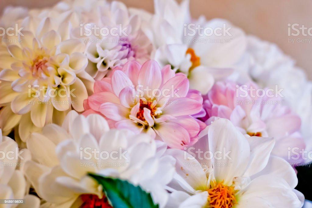 White and pink dahlias stock photo