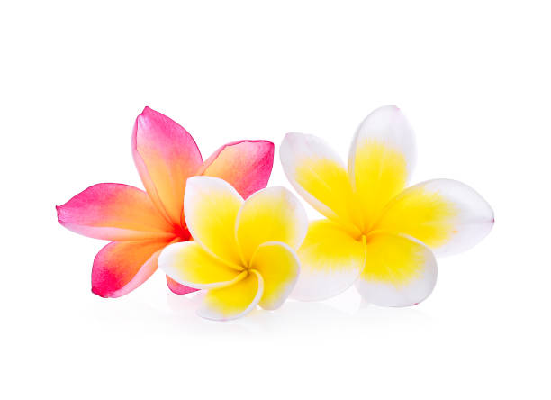 white and pink frangipani (plumeria) flower isolated on white background - hawaiian flowers stock photos and pictures