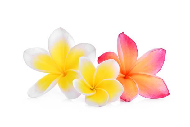Frangipanier blanc et rose ou plumeria (fleurs tropicales) isolé sur fond blanc - Photo