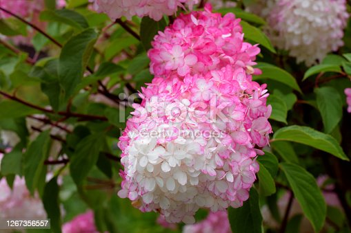 White and pink hydrangea blooming in the garden. Vanilla strawberry hortensia sort