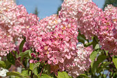 white and pink hydrangea flowers in the garden