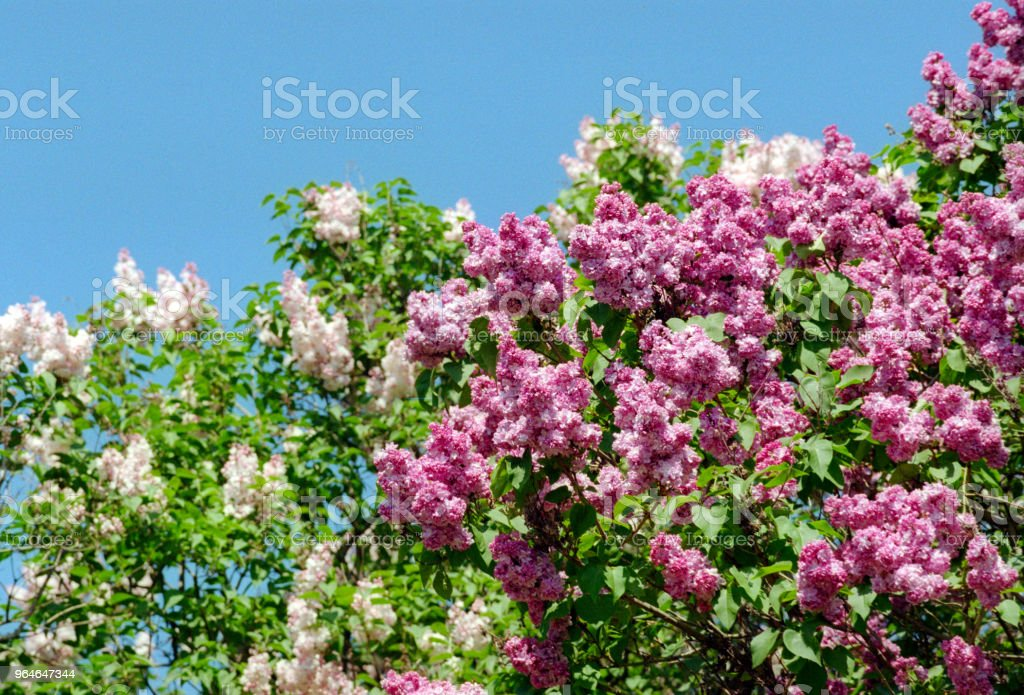 White and pink lilac trees in bloom in front of sky. Shot on film royalty-free stock photo