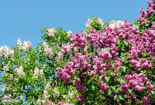 White And Pink Lilac Trees In Bloom In Front Of Sky Shot On Film Stock Photo & More Pictures of Backgrounds