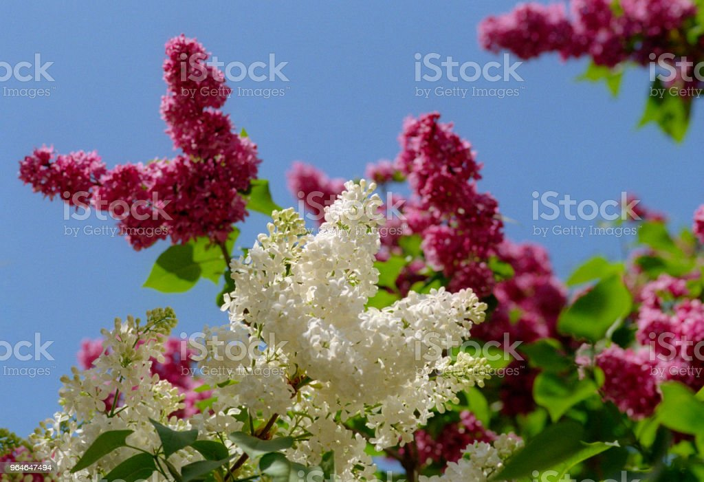 White and pink lilac trees in bloom. Shot on film royalty-free stock photo