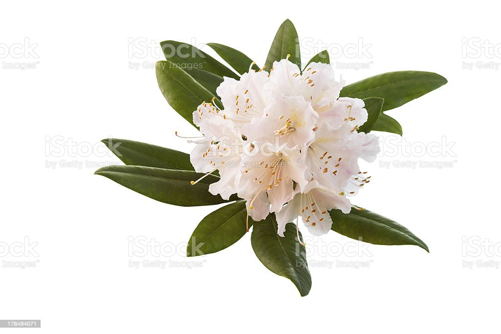 White and Pink Rhododendron flower in Full Seasonal Bloom stock photo