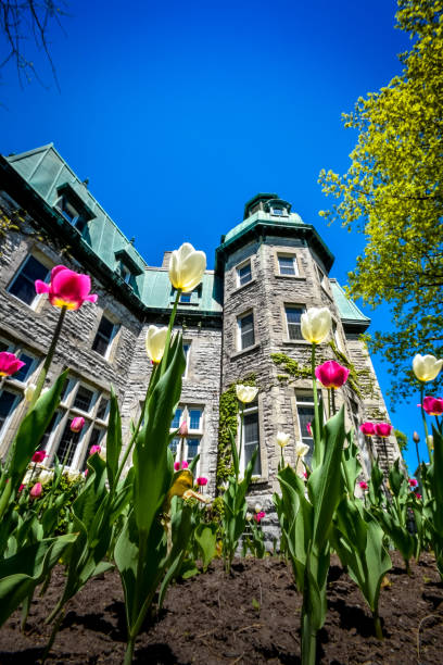 White and pink spring tulip in front of the Saint-Hyacinthe City Hall stock photo