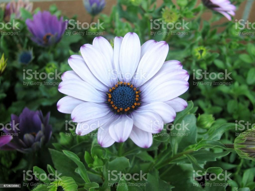 White And Purple African Daisy Flowers Osteospermum Stock Photo