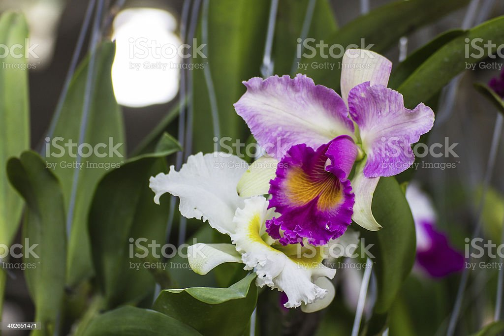 White and Purple Cattleya orchid stock photo