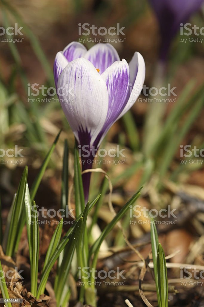 White and purple colored crocus royalty-free stock photo