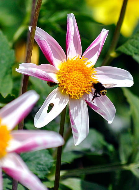 White and Purple Dahlia, with Bee 1 White and purple dahlia, with a Bee preparing to land. neilliebert stock pictures, royalty-free photos & images