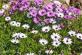 白、パープル daisies