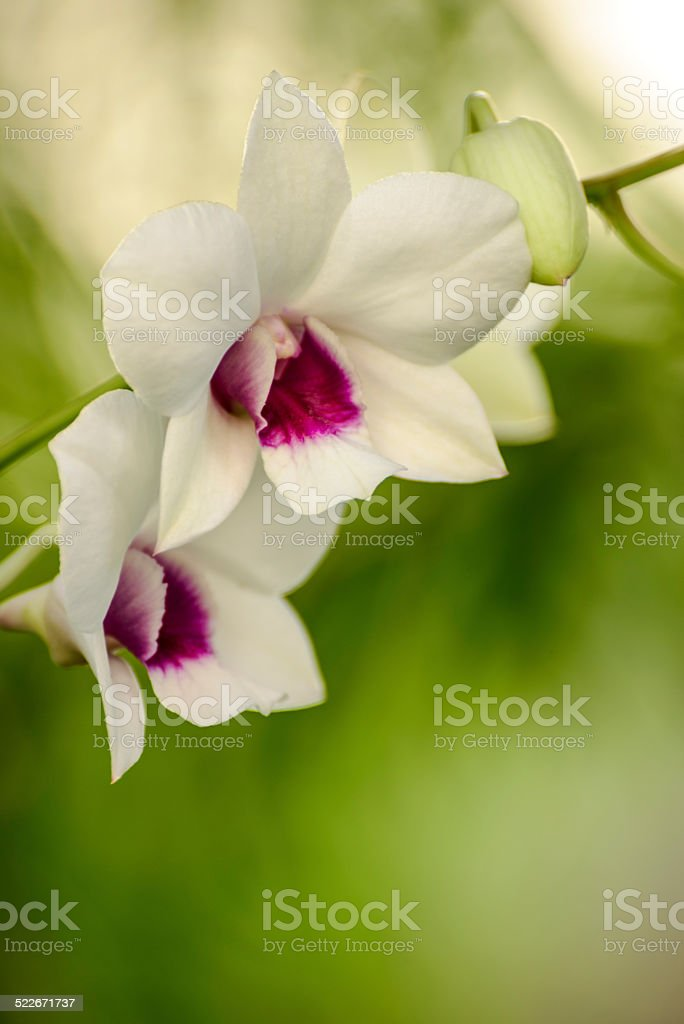 White and Purple Dendrobium stock photo
