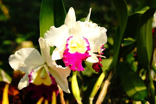 White and Purple Sophrocattleya Laeliocattleya Orchid in garden