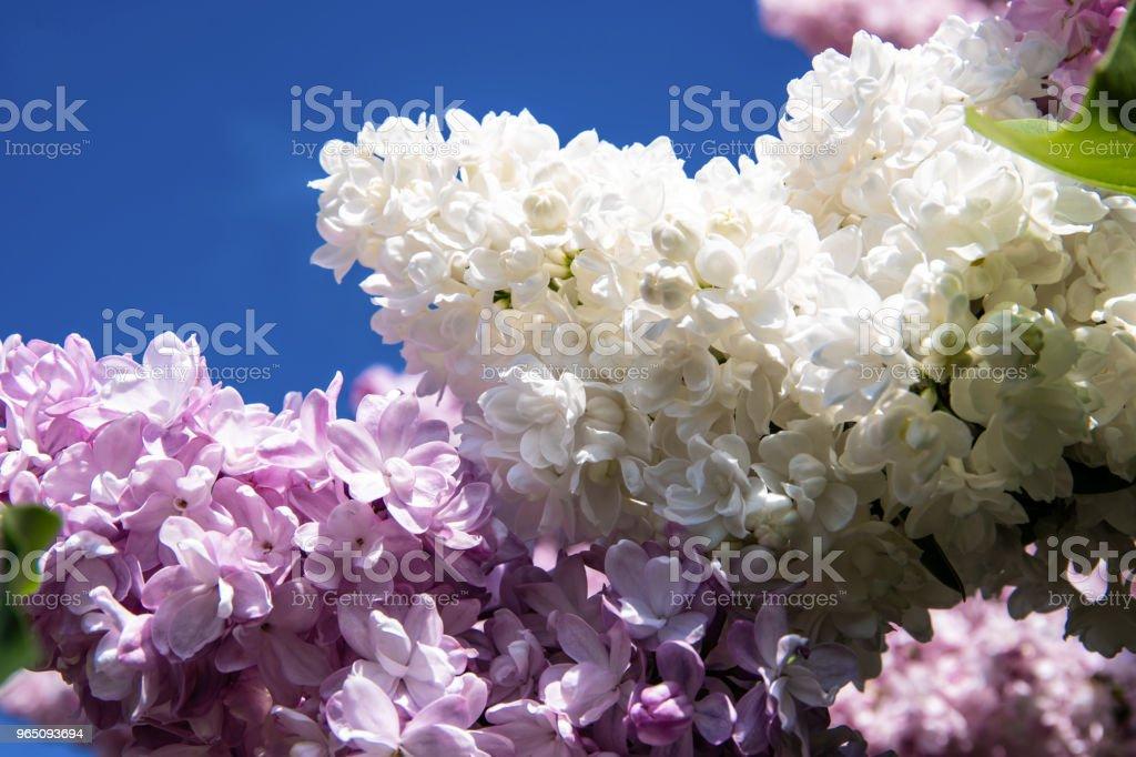 White and purple lilac flowers zbiór zdjęć royalty-free