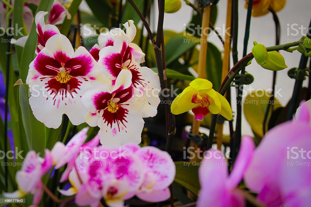 White and Purple Orchid stock photo