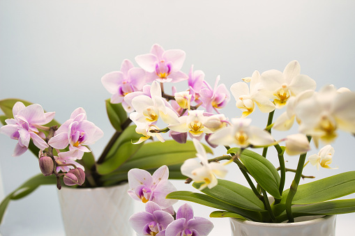 White And Purple Orchid Planta