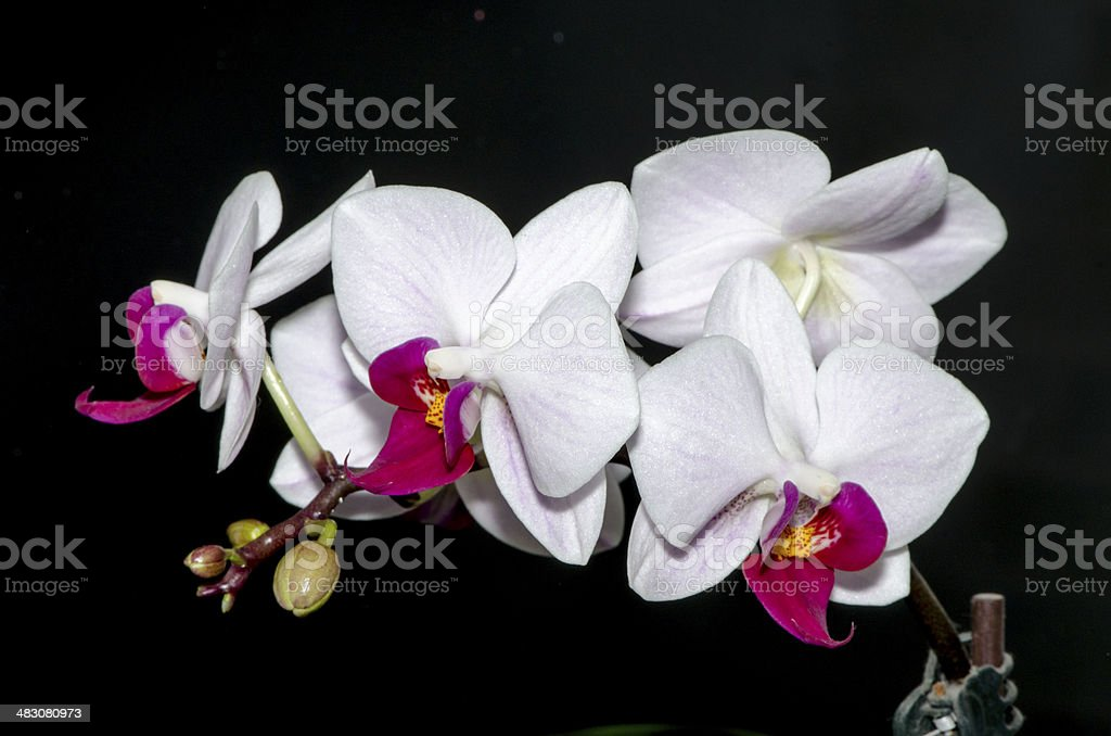 White and Purple Orchids royalty-free stock photo