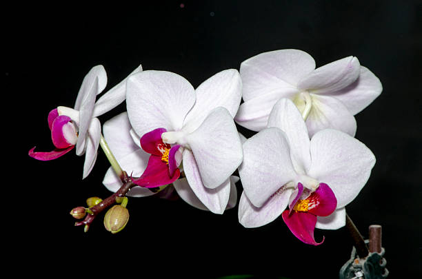 White and Purple Orchids stock photo