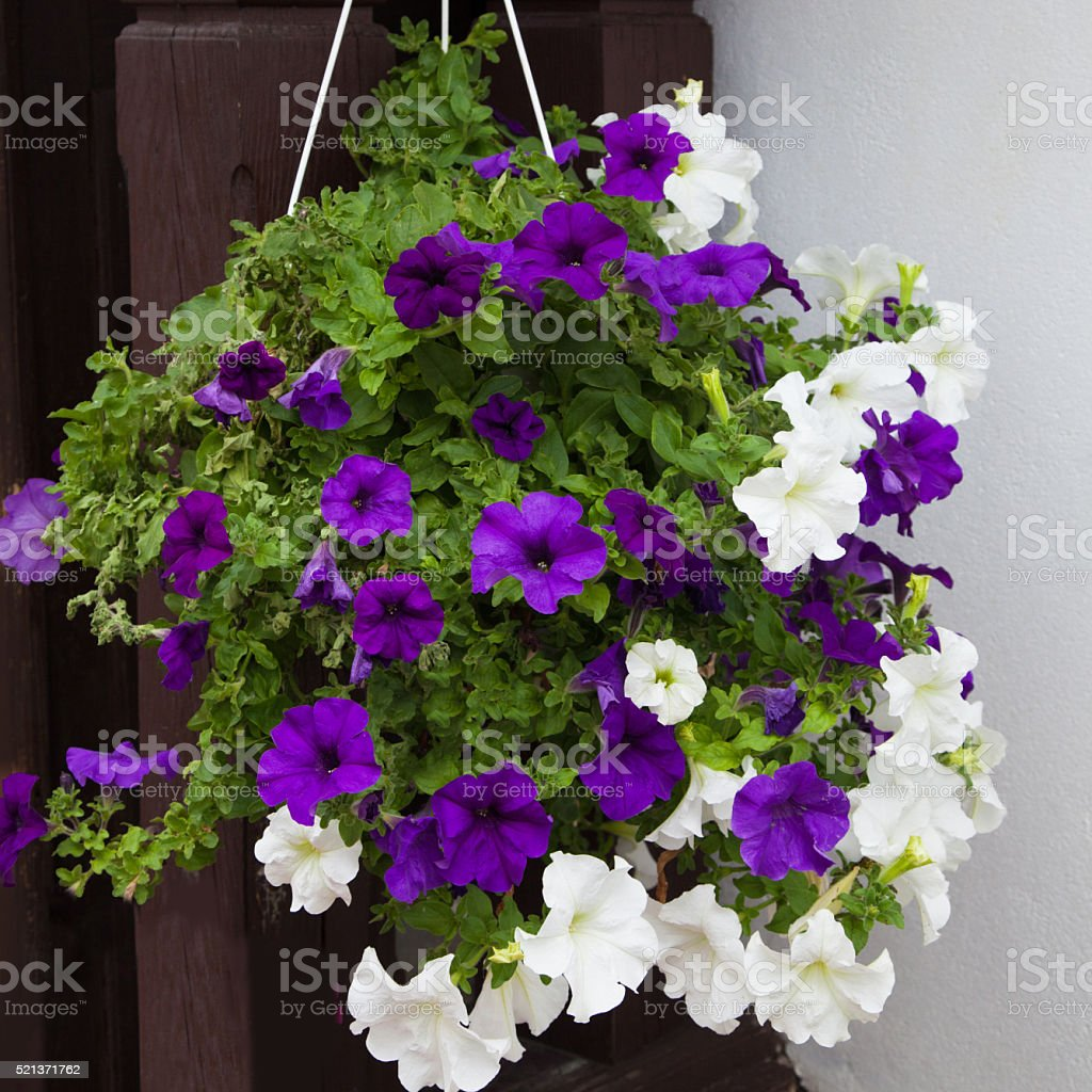 White And Purple Petunia Flowers In Hanging Pot stock photo | iStock