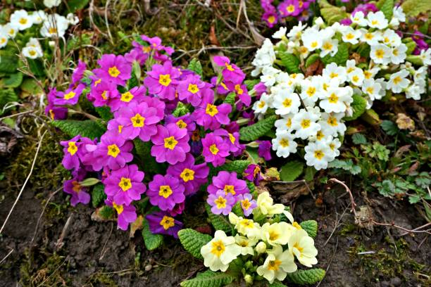 White and purple primrose flowers on a green grass Lots of spring primrose flowers on a green field with green grass primula stock pictures, royalty-free photos & images