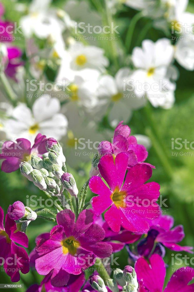 White and Purple Primula stock photo