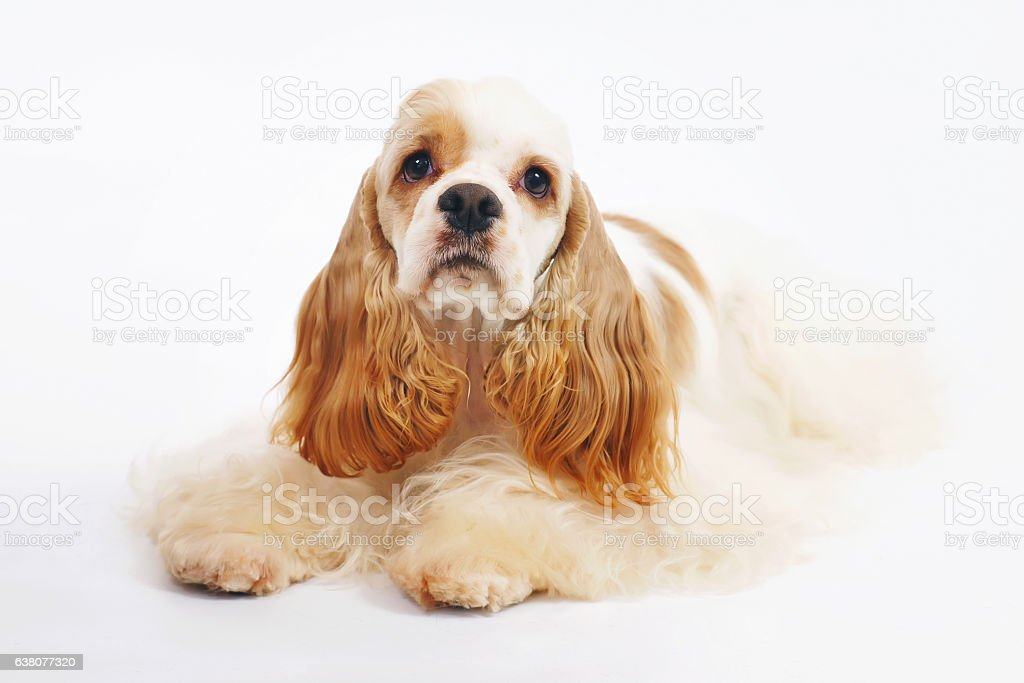 White and red American Cocker Spaniel dog lying indoors stock photo