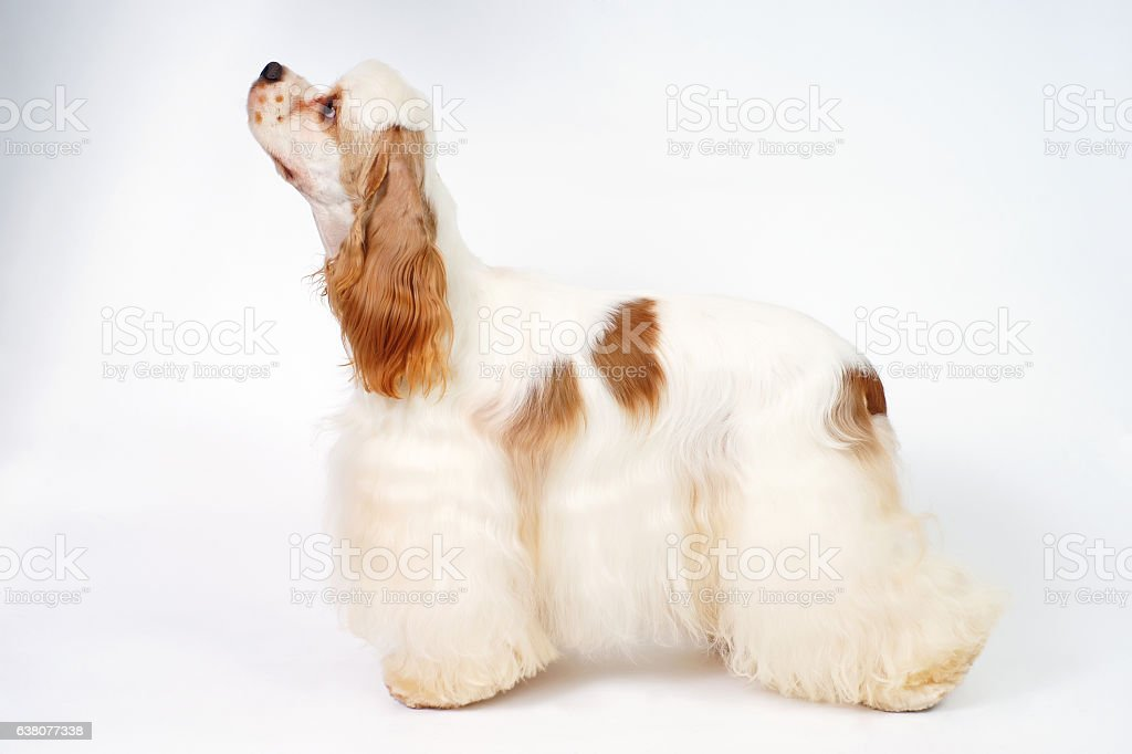 White and red American Cocker Spaniel dog staying indoors stock photo