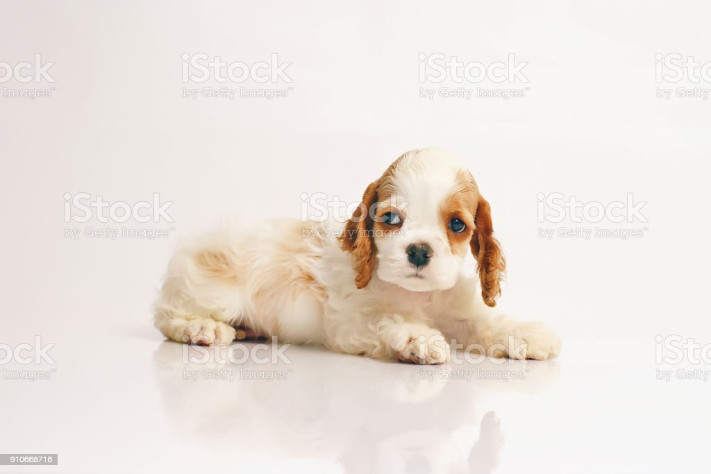 White and red American Cocker Spaniel puppy lying indoors on a white background stock photo