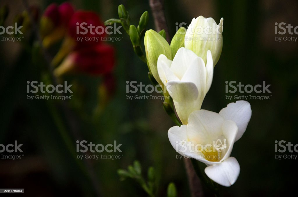 White and Red Freesias stock photo