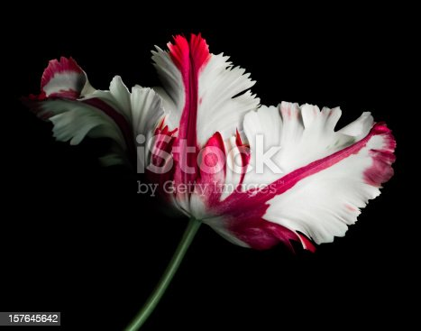 White and Red Parrot Tulip isolated against a black background.  Background as pure black which can be easily extended for copy.