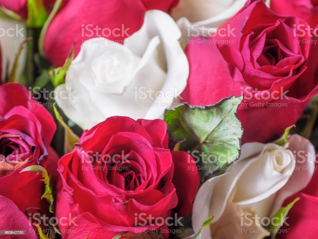 white and red roses - Royalty-free Anniversary Stock Photo