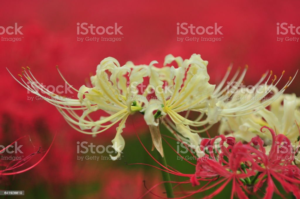 White and Red Spider Lilies at Kinchakuda, Hidaka City stock photo