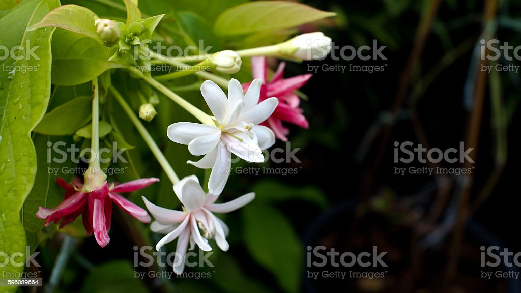 White and Red Sweet Hand Flower royalty-free stock photo