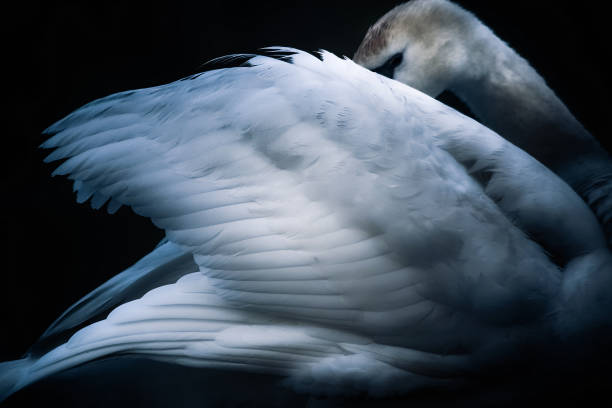The Sleeping Swans >> Top 60 Sleeping Swan Stock Photos Pictures And Images Istock