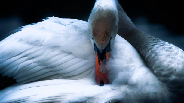 The Sleeping Swans >> Best Sleeping Swan Stock Photos Pictures Royalty Free Images Istock