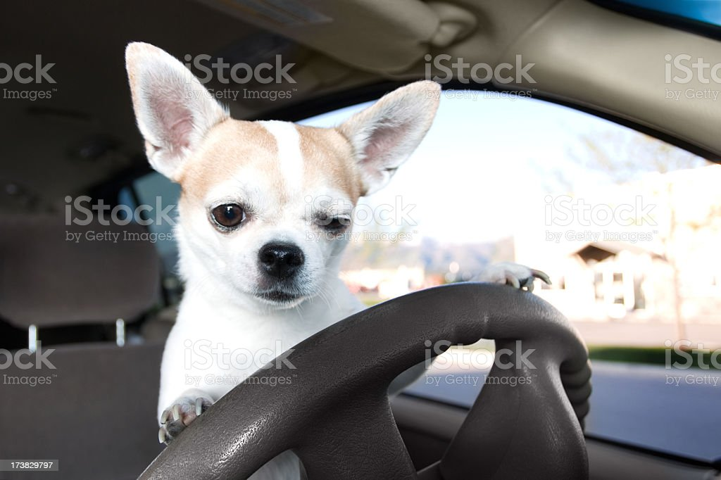 White and tan Chihuahua on the car driver's steering wheel stock photo