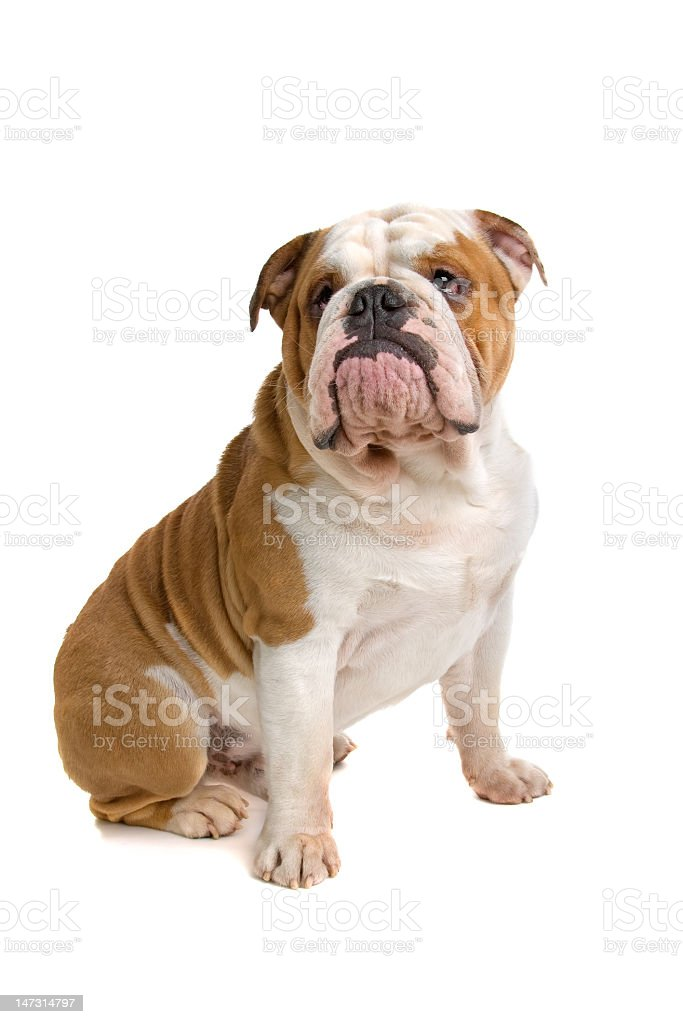 Dorable English Bulldog Anatomy Illustration - Anatomy Ideas ...