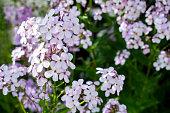 istock White and violet / purple alyssum (Lobularia maritima) flowers 1256116814