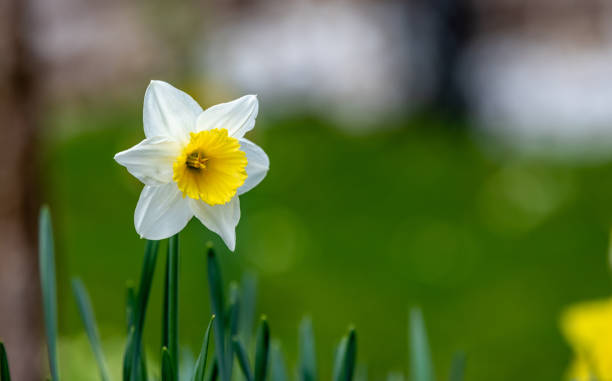 White and yellow daffodil flower stock photo