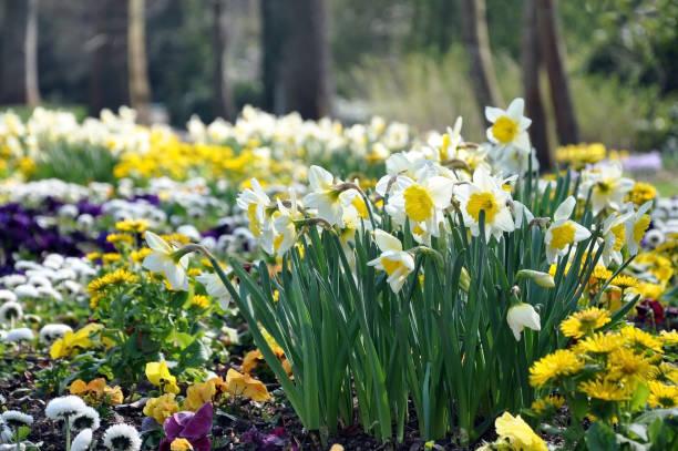 jonquilles blancs et jaunes qui fleurit dans le jardin en gros plan de printemps. - plante à bulbe photos et images de collection