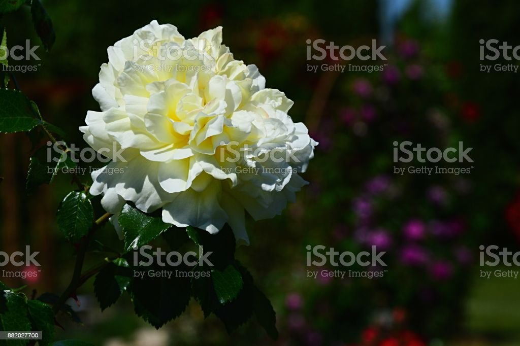 White and yellow flower of rose Golden Glow, Brownell 1937 stock photo