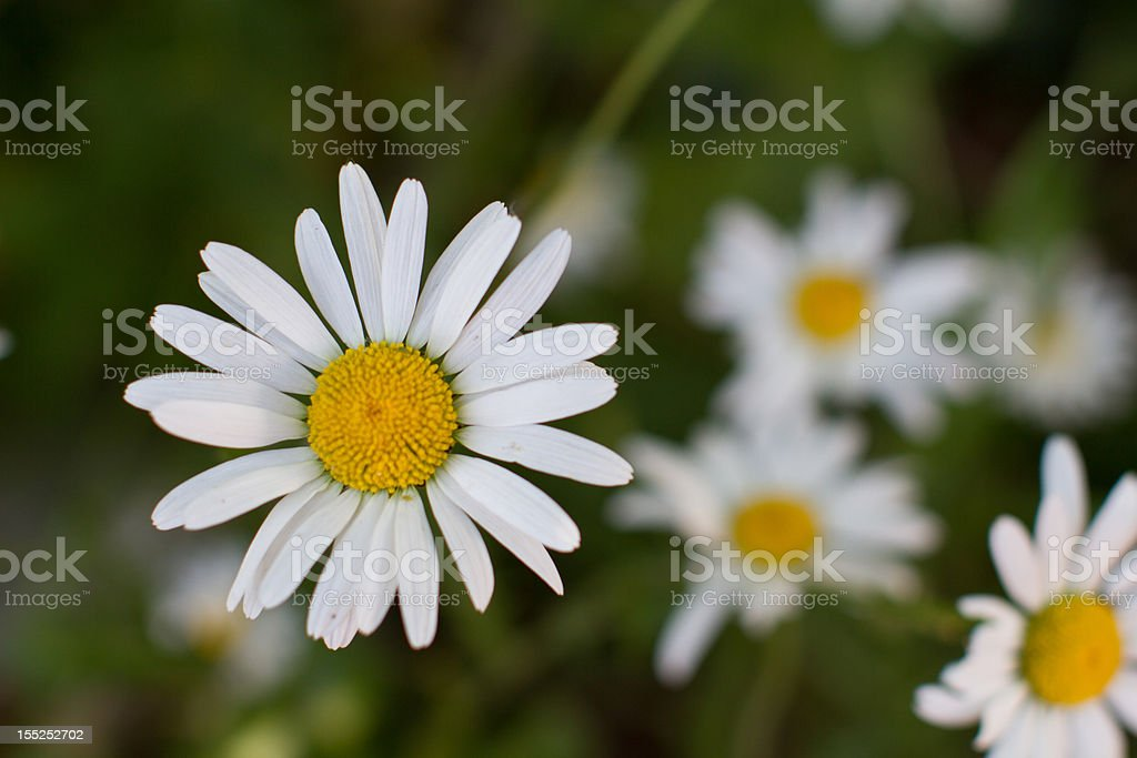 White and yellow flower royalty-free stock photo