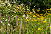 White and yellow flowers behind an old picket fence