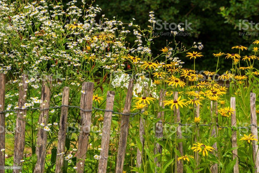 Weiße und gelbe Blumen hinter einer alten Lattenzaun – Foto