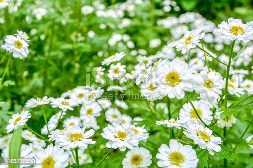 White and yellow flowers of Feverfew Pyrethrum or Tanacetum Corymbosum or Chrysanthemum Parthenium close-up with green grass background, selective focus, shallow DOF