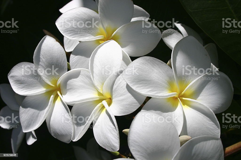 White and yellow frangipani flowers with shade surrounding stock white and yellow frangipani flowers with shade surrounding royalty free stock photo mightylinksfo Gallery