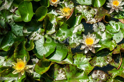 White and yellow nymphaea or water lily flowers and green leafs in water of garden pond close up, top view