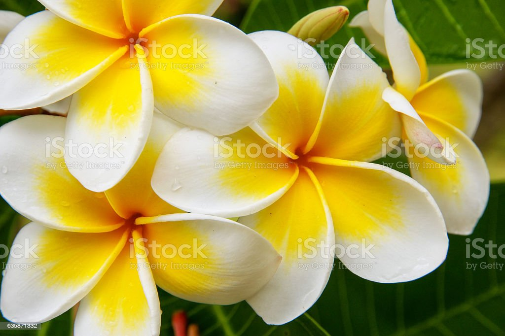 White and yellow plumeria flowers stock photo